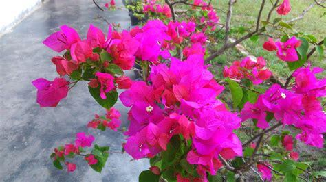 bunga kertas warna menanam merawat manfaat