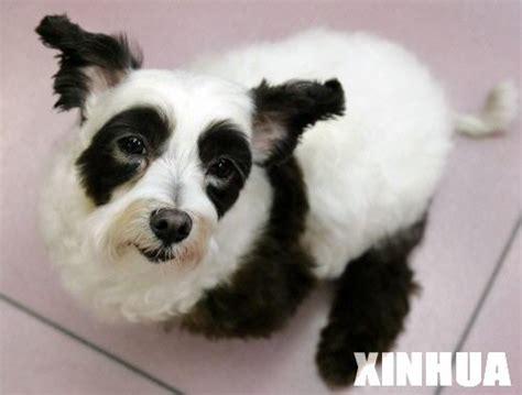 panda puppies chinastic quot panda quot becomes