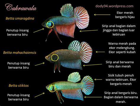 Makanan Ikan Cupang Di Alam Liar gambar ikan cupang gambar v