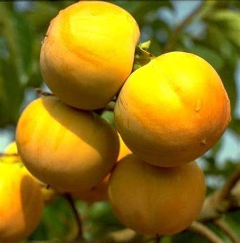 japanese fruit tree hana fuyu persimmon tree japanese fruit grafted ebay