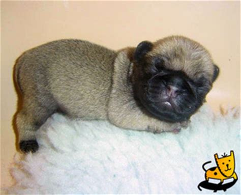 pug encephalitis symptoms i everything you need to all about pugs