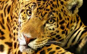 How Many Jaguars Are Left In The World Jaguar Symbolism