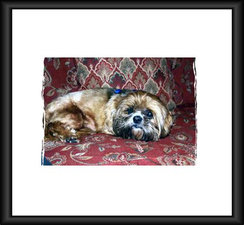 shih tzu rescue mn strmn shih tzu rescue of minnesota design bild