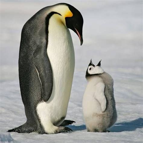 Pinguin Top emperor penguin nature s 10 best animal dads mnn nature network
