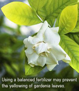prevent yellowing  gardenia leaves gardenia