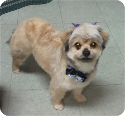 pekingese yorkie mix fancy adopted encinitas ca pekingese yorkie terrier mix