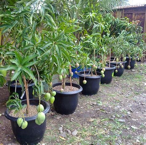 Bibit Tin Cirebon budidaya tanaman mangga dalam pot budidayaku