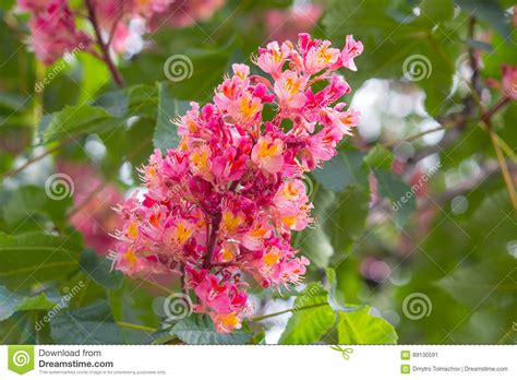 fiori castagno un fiore di colore di rosa castagno immagine stock