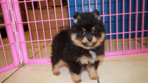 black and pomeranian puppies for sale black pomeranian puppies for sale near atlanta ga at puppies for sale