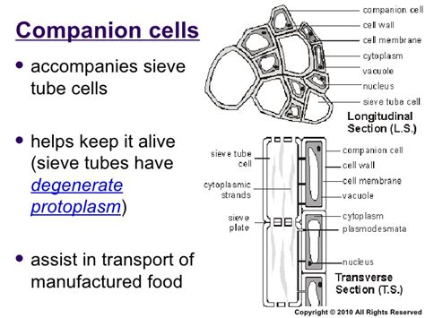 transverse section of phloem chapter 9 transport in plants lesson 2 xylem and phloem