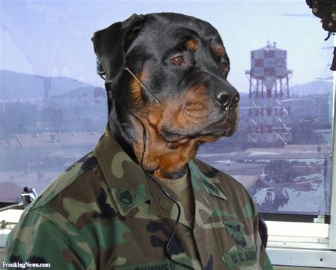 rottweiler direct army rottweiler pictures freaking news