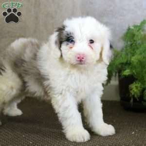 sheepadoodle puppies nc sheepadoodle puppies carolina 4k wallpapers