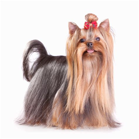 show yorkies the yorkie coat facts care grooming haircut styles