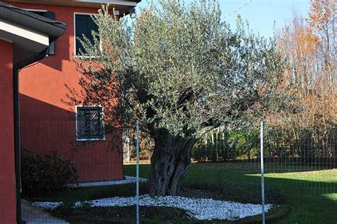 giardini con ulivi gallery vivai gardens vivai gardens