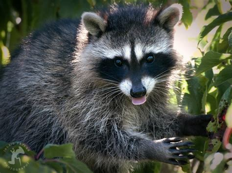 deter raccoons from fruit trees how to deter raccoons
