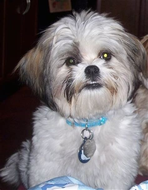 shih tzu maltese cross mal shi breed information and pictures