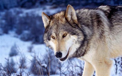 imagenes full hd de lobos lobo salvaje hd fondoswiki com