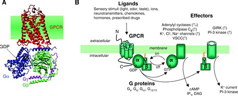 g protein diagram g protein coupled receptor heteromer dynamics journal of