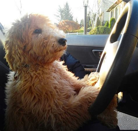 goldendoodle puppy nyc hudson goldendoodle from river valley doodles breeder ny