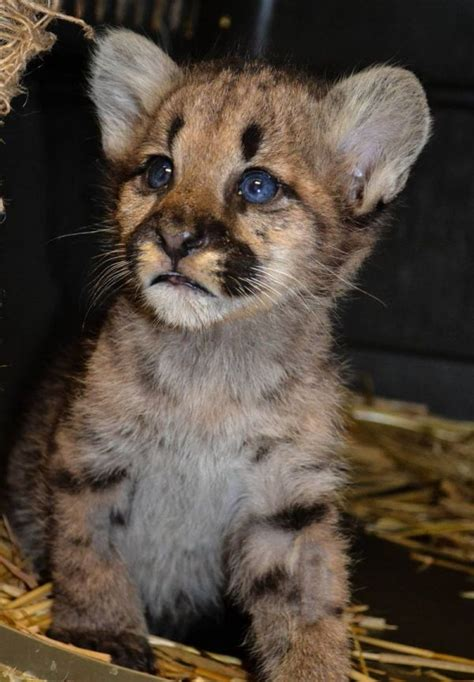 motherless mountain lion cub   washington state neatorama
