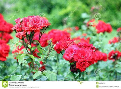 imagenes de jardines de rosas rojas jard 237 n de rosas rojas foto de archivo imagen 48889190