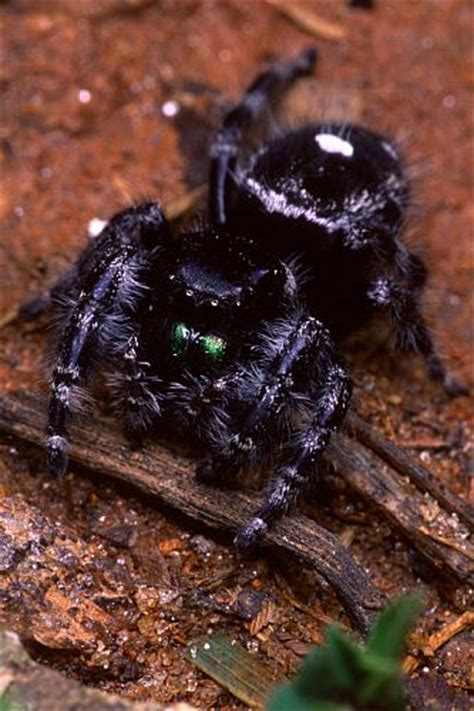 Garden Jumping Spider Poisonous Identify The Most Common Spiders Found In Upstate Ny And