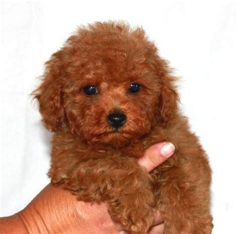 mini teddy puppies make sure your groomer is skilled in fluff drying this is a key component in