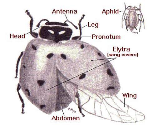 ladybug diagram erinhami ladybug diagram