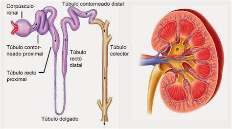 sistema excretor image gallery sistema urinario