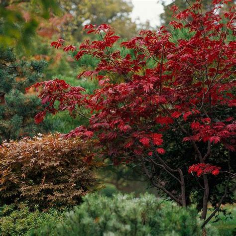 best maple tree varieties 25 best ideas about japanese maple varieties on japanese maple trees sunset