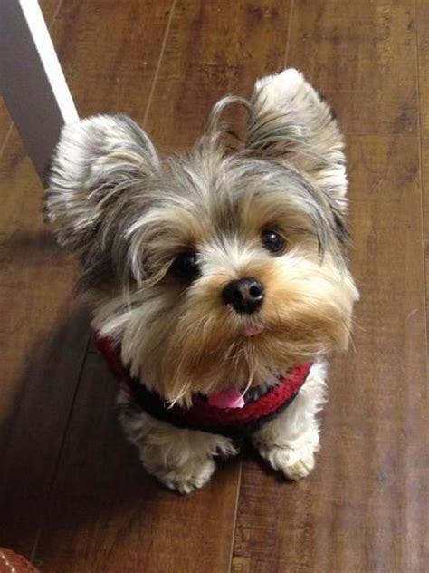 why yorkies are the best dogs 10 reasons why yorkies are the best