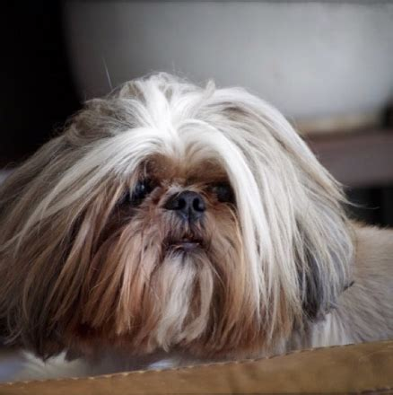 shih tzu names for males 21 unique names for your