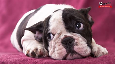 leaving a puppy alone while at work 10 reasons to not adopting or buying a bulldog