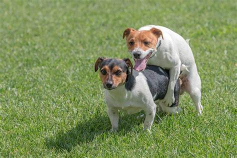 perros apareamiento 191 por qu 233 los perros se quedan pegados despu 233 s de aparearse