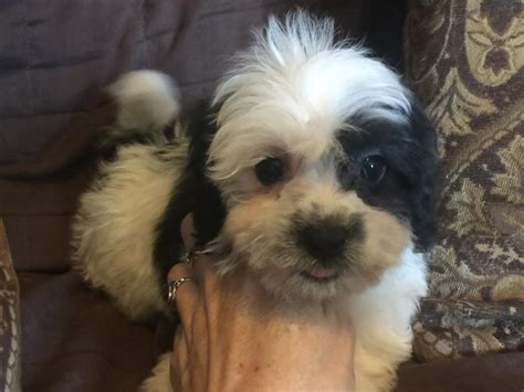 havachon puppies blue ridge bichons and havanese available havachon puppies