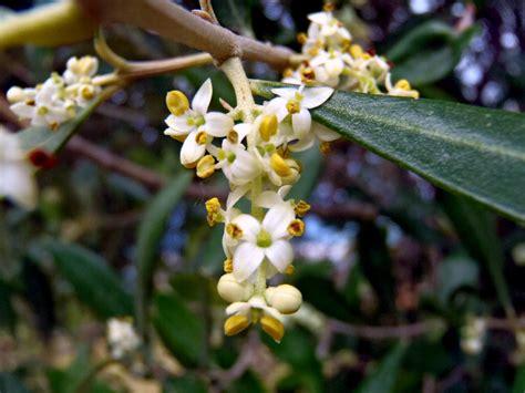 fiori di olivo casa facile felice fiori d olivo racemi