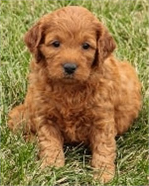 goldendoodle puppy vaccination schedule mini goldendoodle puppies