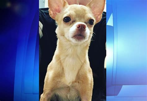 service dogs in restaurants service chihuahua stolen outside mcdonald s near italy
