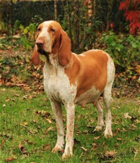 italian setter dog bracco italiano hunderasse mit bild info temperament