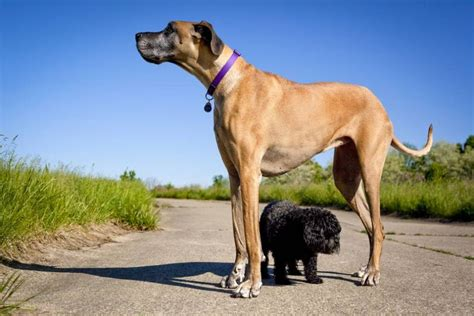 heaviest breed 9 of the world s largest breeds mnn nature network