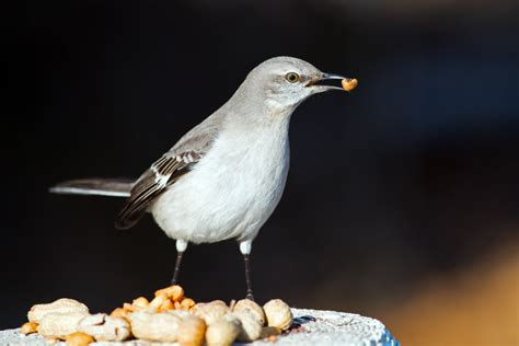what should you do about aggressive mockingbirds
