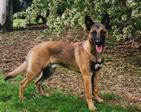 breed o breed belgian malinois breeds