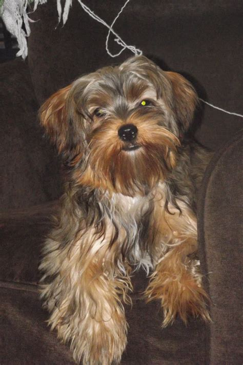 haurcuts for yorkipoos 22 best images about yorkie poo on pinterest around