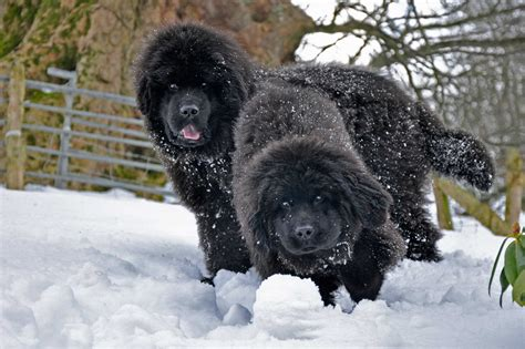 best newfoundland breeders newfoundland puppies homepage