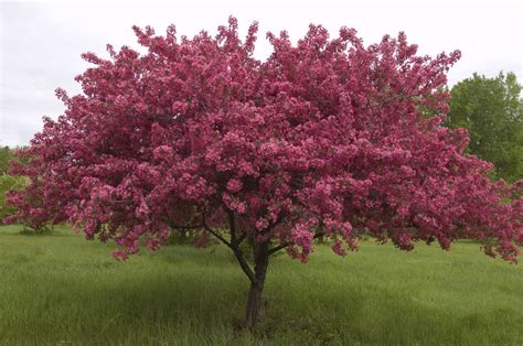 my neighbor just planted a crabapple tree gardening austin