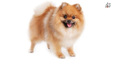 pomeranian puppies for sale in minnesota pomeranian puppies pic