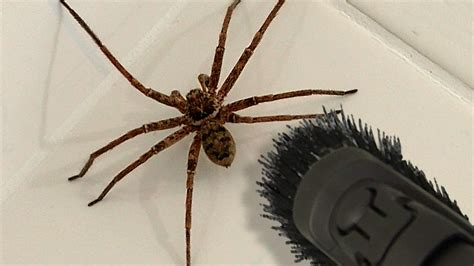 Big Spider Bathroom Daddy Screamer Arachnophobia Warning Youtube
