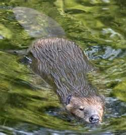 Beaver muskrat and nutria identification mammals the city of