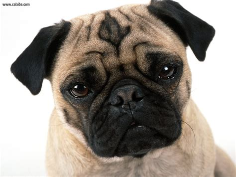 mug pug animals pug mug picture nr 14516