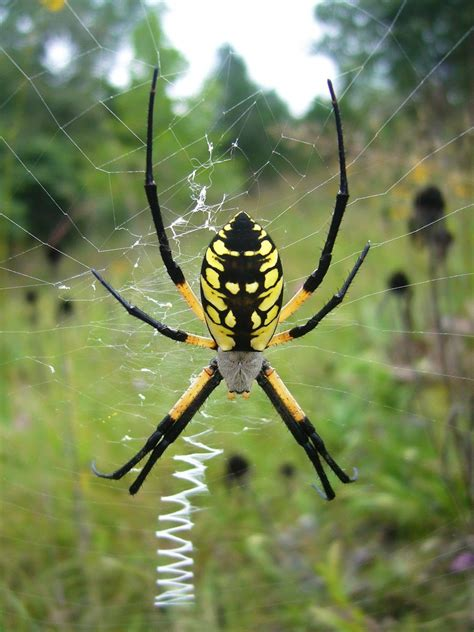 Black And Yellow Garden Spider by Top Ten Of 2008 Beetles In The Bush